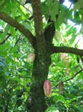 the seeds of the Theobroma cacao tree