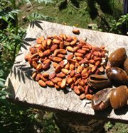 Cacao seeds drying